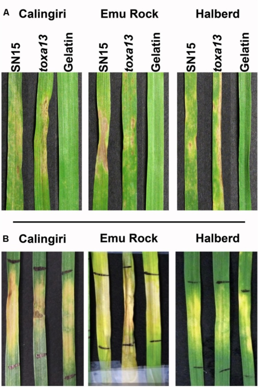 Septoria nodorum blotch and culture filtrate symptoms of P. nodorum toxa13-6 on Calingiri, Emu Rock, and Halberd. (A)P. nodorum toxa13 remained pathogenic on Calingiri, Emu Rock, and Halberd. (B) Distinct chlorotic and necrotic symptoms were observed after 10 days post infiltration with P. nodorum toxa13-6 culture filtrate.