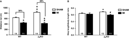 Total distance run in graded treadmill running test (A) and step length in ambulation test (B) of WT and β2KO mice submitted to fictitious surgery (SHAM) and myocardial infarction (MI). Data are presented as mean ± SEM. *P < 0.05 versus WT SHAM; #P < 0.05 versus β2KO SHAM; +P < 0.05 versus WT MI.