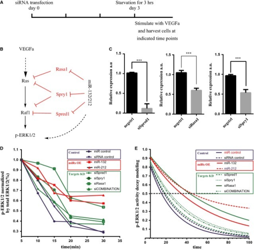 miR-132/212 modulate Ras-MAPK signalling by suppressing Rasa1, Spred1 and Spry1 in HUVECs. (A) Experimental setting for quantitative measure of active ERK1/2 using Bio-plex phosopho-ERK1/2 assay. (B) A working model for miR-132/212 in modulation of Ras-MAPK pathway. (C) Quantification of Spred1, Spry1 or Rasa1 expression level after siRNA transfection against Spred1, Spry1 or Rasa1 in HUVECs, Values in the graph are shown as mean ± SEM, *** P < 0.001 n = 3. (D) Quantification of phosophorylated ERK1/2 level by Bio-plex pro phosopho-ERK1/2 set. Note the sustain ERK1/2 phosphorylation is prolonged after miR-132, 212 transfection or siRNA against Spred1, Spry1, Rasa1 or combinations of the three. (E) Modelling the decay of phosophorylated ERK1/2 level from D.