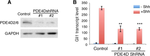 PDE4D knockdown reduces Hh signaling activity.(A) Western blot shows that lentivirus-mediated expression of shRNA against PDE4D abolished the expression of endogenous PDE4D2/6. (B) On day 3, Hh signaling activity was evaluated after cells were treated with Shh. Gli1 transcript level was measured by qPCR to evaluate Hh signaling activity. Data are mean ± SEM. Statistics: Student's t-Test. **p < 0.01, ***p < 0.001.DOI:http://dx.doi.org/10.7554/eLife.07068.013