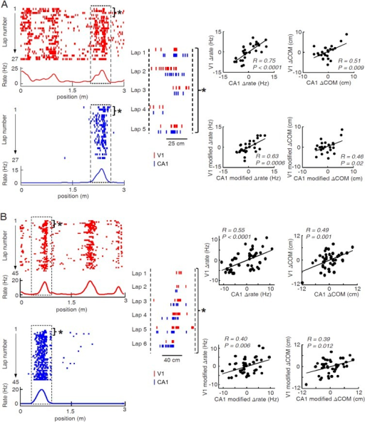 Two more examples of overlapping V1-CA1 cell pairs with correlated lap-by-lap fluctuations in, each from a different animal.For each example (A or B), plotted on the left are the lap-by-lap spike raster and firing rate curves of the V1 (red) and CA1 (blue) cells, while plotted on the right are the lap-by-lap fluctuations in rate (∆rate) and COM (∆COM) for the two cells on the left, and in rate (modified ∆rate) and COM (modified ∆COM) after the modulation by speed and head direction was removed. See the main figure (Figure 6) legend for details.DOI:http://dx.doi.org/10.7554/eLife.08902.009
