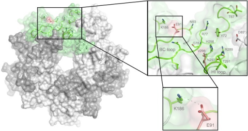The MuPyV binding pocket.Top view on the receptor-binding region of PTA, which is shown with E91 and V296 highlighted in salmon. Residues that are known to participate in receptor binding are contributed by the BC and HI loops and are highlighted as stick models. One monomer is shaded in green and the other monomers are alternatingly shaded light and dark grey for better distinction.