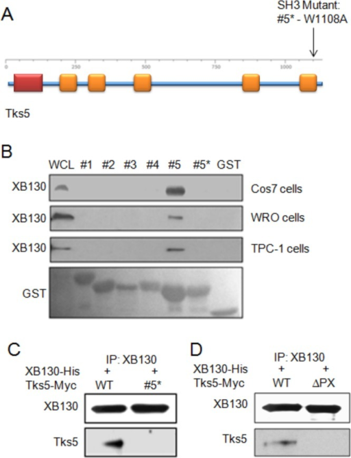 XB130 binds to the fifth SH3 domain of Tks5. (A) Schematic diagram of Tks5, in particular showing the location of the SH3 #5 single–amino acid substitution mutant, tryptophan 1108 to alanine (W1108A). (B) GST-fusion protein pull-down assay and immunoblot of XB130 shows that XB130 binds to only the fifth SH3 domain of Tks5 in COS-7 (transfected with His-XB130), WRO, and TPC-1 cells. (C) Immunoprecipitation of XB130 shows that single amino acid substitution of tryptophan (W) 1108 to alanine (A) in the fifth SH3 domain of Tks5 inhibited coIP between Tks5 and XB130 in COS-7 cells. (D) Immunoprecipitation of XB130 shows that deletion of PX domain of Tks5 (Myc-Tks5 ∆PX) also inhibited Tks5 binding to XB130 in COS-7 cells.