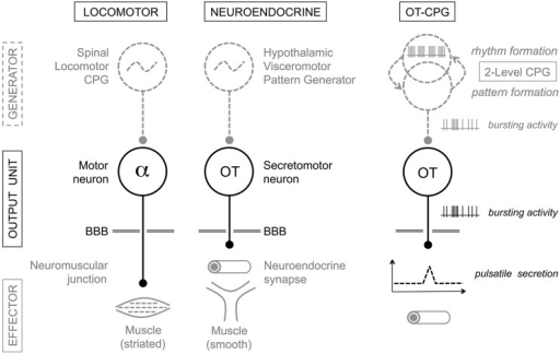 "Analogy between the locomotor and neuroendocrine circuits. Motor neurons and neuroendocrine cells are output units driven by central pattern generator (CPG) networks. CPGs generate the specific electrical firing required for secretion of neurotransmitters/neurohormones and the desired action of the effector structure: skeletal muscle for alpha-motor neurons, uterus and mammary myoepithelial cells in the case of magnocellular oxytocin (OT) neurons. The presumptive ""OT-CPG"" necessary for the milk-ejection reflex may be a two-level CPG comprising a rhythmogenic component in interaction with a pattern-forming component, the output of which being bursting activity. The secretomotor unit is mainly a follower of the CPG output triggering neurosecretion. BBB, blood-brain-barrier. For details, see the Conclusion."