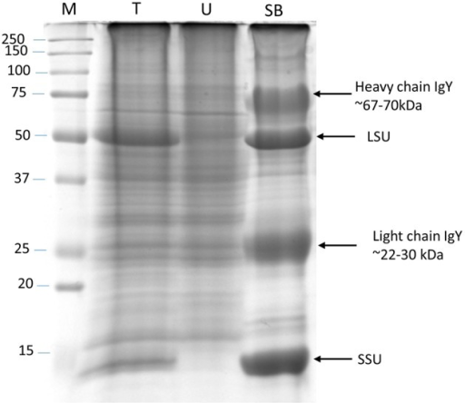 RuBisCO depletion from total protein extracts. Silver stained SDS-PAGE (12%) gel showing RuBisCO depletion after immunoaffinity purification using a Seppro IgY-RuBisCO spin column. Large (LSU) and small (SSU) subunit of RuBisCO are marked. M, Molecular weight marker; T, Total protein; U, Unbound protein fraction; SB, Specifically bound proteins.