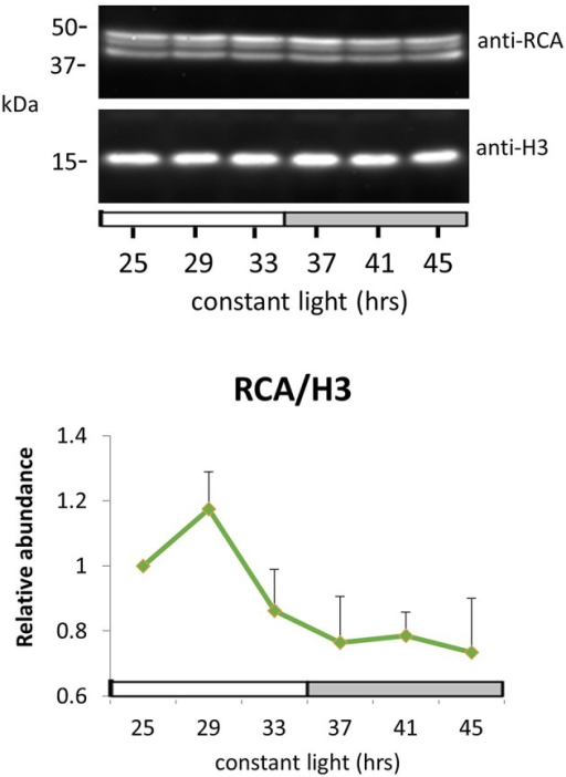 RuBisCO activase protein oscillation in constant light. Immunodetection of RuBisCO activase (RCA) protein abundance. Ten-day-old Arabidopsis Col-0 seedlings grown under LD cycles were released to continuous light and harvested at the indicated time. White and gray bars indicate subjective day and night. Protein level was quantitated relative to histone H3 and normalized to the level of LL25. Error bars indicate s.e.m. from two biological replicates.