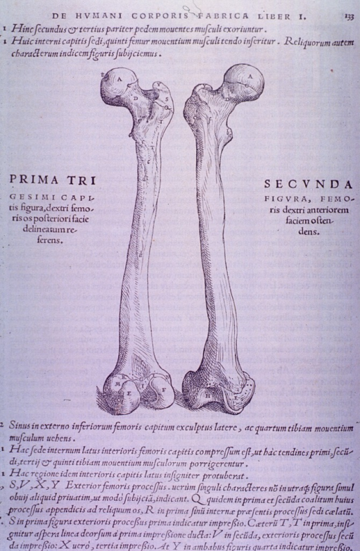 <p>Anterior and posterior views of the femur.</p>
