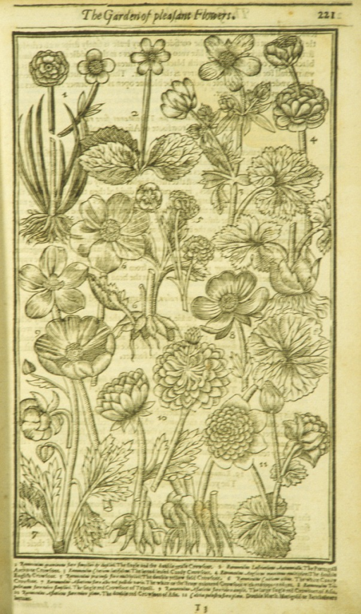 <p>Woodcut illustration of eleven types of Ranunculus plants.</p>
