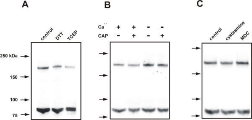 VR1 dimerization is not affected by reducing agents, capsaicin, Ca2+ or transglutaminase inhibitors. (A) Western Blot of the effect of reducing agents on the VR1 dimer. The addition of DTT (100 mM) and TCEP (20 mM) did not modify the ratio of monomer to dimer in VR1-expressing oocytes (p > 0.05, for 3 independent experiments). (B) Effect of Ca2+ on dimer formation in VR1. The addition of Ca2+ to the biochemical assays (in the presence or the absence of capsaicin, lanes 1 and 2) did not modify the ratio of monomer to dimer (p > 0.05, for 3 independent experiment). Addition of EGTA (2 mM) to the assays (lanes 3 and 4) did not modify the monomer to dimer ratio either (p > 0.05, for 3 independent experiments). For the Ca2+-free condition, the expected free Ca2+ concentration was 0.4 nM, calculated using WebMax C version 2.1 . and assuming a contaminant level of 5 μM Ca2+ in our water. For the condition in which Ca2+ was present, we added 1.8 mM Ca2+ and no chelator to the solution (see Materials and Methods). (C) Effects of transglutaminase inhibitors on dimerization of VR1. The addition of cysteamine (20 mM) and MDC (250 μM) to oocytes did not alter the amount of dimer in relation to monomer when compared to the control lane which did not receive any treatment (p > 0.05, for 3 independent experiments).