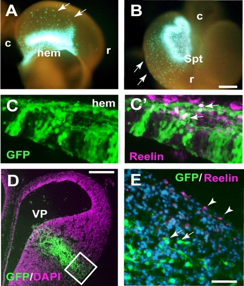 Origins of Reelin-positive cells in the developing quail telencephalon.(A and B) GFP-labeled cells in E4.5 quail telencephalon, in which GFP-expression vector was electroporated into the hem (A) or septum (Spt; B) at E3.5. Arrows indicate migrating GFP-positive cells. r: rostral, c: caudal. (C and C′) Expression of Reelin in the GFP-positive, hem-derived cells. (D) Coronal sections of the telencephalon in which GFP-plasmid was electroporated into the ventral pallium (VP). (E) The VP-derived GFP-positive cells (arrows) do not express Reelin. Arrowheads indicate Reelin-positive cells, which might be derived from the hem region. Scale bars, 200 µm (A, B, D), 50 µm (C, E).