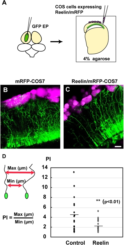 Reelin controls directed growth of radial fibers.(A) Schematic illustration of slice culture. After GFP plasmid electroporation, quail embryonic slices (E7) are co-cultured with Reelin and/or RFP-expressing COS7 cells (magenta). (B and C) Patterns of radial glial fiber extension in slices with control cells (B) and with Reelin-expressing cells (C). Straight projection of GFP-labeled radial fibers is evident with Reelin-expressing cells compared with control cells. (D) Quantification of radial fiber orientation. The parallel index (PI) of radial fibers was calculated by dividing the maximum distance between adjacent radial fibers by the minimum distance. Differences in PI between slices with control and Reelin-expressing cells were analyzed statistically (F-test). PI is reduced in Reelin-treated slices compared with that in control slices. Asterisks indicate statistically significance (p<0.01, F-test). Scale bar, 20 µm.