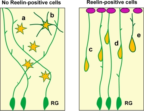 A role of Reelin-positive cells in the developing vertebrate pallium.(Left) Without Reelin-positive cells, radial glial cells (RG) extend fibers in multiple orientations. Neurons migrate independently, and exhibit a multi-polar shape (a, b). (Right) In the presence of Reelin-expressing cells at the pial surface (magenta), RG fibers are directed toward the source of Reelin. Migrating neurons shorten their own fibers for translocation (c) or attach to RG fibers for locomotion (d). Neurons exhibit a polarized shape during and after migration (e).