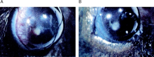 Corneal neoangiogenesis model: effect of rEMAP II on bFGF-induced neovascularization. Hydron pellets containing bFGF (≈90 ng) were implanted in corneal pockets. Mice were then treated with EMAP II (2 μg i.p. every 24 h for 5 d; B) or vehicle (A), and the corneal neovascular response was assessed. The total number of neovessels originating in the limbus was counted (C; *P < 0.003), and the area of neovascularization was calculated (D; *P < 0.002). Data shown are the results of 16 observations in 8 animals in each of the experimental groups, for a total of 32 observations in 16 animals. The experiment was repeated twice.