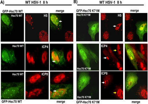 An Hsc70 Dominant Negative Mutant Can Prevent RNAP II Phospho-serine 2 Degradation and Hsc70 Focus Formation.A) Vero cells were transfected with pGFP-Hsc70 and were subsequently infected with WT HSV-1 for 8 h. Cells were stained with H5, anti-ICP4 or anti-ICP8 antibodies. GFP fluorescence was viewed directly. Arrows point to Hsc70 foci. B) Vero cells were transfected with the dominant negative mutant GFP-Hsc70K71M and then infected with WT HSV-1 for 8 h. Cells were stained with H5, anti-ICP4 or anti-ICP8 antibodies. Arrows point to GFP Hsc70K71M expressing cells showing diffuse nuclear staining with H5, and to pre-replication sites in cells stained for ICP4 and ICP8. The yellow arrows in the ICP4 and ICP8 stained panels point to a fully formed replication compartment.