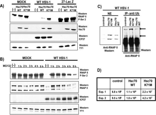 Dominant Negative Mutant Hsc70 K71M Prevents Proteasomal Degradation of Phospho-Serine 2 RNAP II CTD.A) RSF cells were transfected with vector alone (-), Myc-tagged Hsc70 or Myc-tagged Hsc70K71M and 24 h later were either mock-infected or were infected with WT HSV-1 or 27-LacZ. Nuclear extracts were prepared 8 h after infection. Western blots were probed with antibody H5 to detect the phospho-serine 2 form of RNAP II; anti-myc antibody to detect myc-tagged Hsc70; anti-ICP27 antibody to monitor ICP27 expression, and anti-YY1 antibody as a loading control. YY1 is a cellular transcription factor. B) HeLa cells were either mock-infected or infected with WT HSV-1. MG132 (50 µM) was added at the times indicated and nuclear extracts were prepared at 8 after infection. Western blots were probed with H5 antibody to detect RNAP II phospho-serine 2; ARNA3 antibody, which recognizes all forms of RNAP II, both phosphorylated and unphosphorylated; anti-ICP27 antibody, and anti-YY1 antibody. C) RSF cells were transfected with empty vector alone (control), myc-tagged Hsc70 or myc-tagged Hsc70K71M as indicated, and were infected 24 h later with WT HSV-1. Nuclear extracts were prepared 8 h after infection, and samples were fractionated directly by SDS-PAGE for Western blot analysis (left panel, NE) or were immunoprecipitated with anti-ubiquitin antibody (right panel, IP- anti-Ub). Immunoprecipitated complexes were fractionated by SDS-PAGE and the Western blot was probed with anti-RNAP II antibody ARNA3. Arrows point to slower migrating ubiquitinated forms of RNAP II. D) RSF cells were transfected with empty vector alone (control), myc-tagged Hsc70 or myc-tagged Hsc70K71M and were infected 24 h later with WT HSV-1. Cells were harvested 24 h after infection and viral titers were determined by plaque assays.