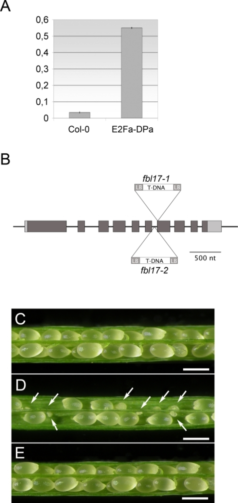 fbl17 T-DNA insertion mutants.(A) FBL17 transcript accumulation in plants over-expressing the E2Fa transcription factor and its dimerization partner, DPa. Quantitative RT-PCR on RNA extracted from E2Fa-DPa overexpressing (OE) seedlings show a 15-fold increase in the relative abundance of FBL17 transcript compared to control RNA (Col-0). The experiment was three times repeated. Data are means±SE. (B) Diagram of the genomic locus of FBL17. The two T-DNA insertions disrupt the 7th exon and the 6th intron in the fbl17-1 and fbl17-2 allele respectively. Light grey filling indicate non-translated region of the transcript whereas dark grey filling indicates coding sequence. (C) Wild type silique opened to reveal the seed content. (D) Heterozygous fbl17-1+/− silique displaying a reduced fertility and aborted seeds (marked by white arrows). (E) Homozygous fbl17-1 mutant complemented with the FBL17 genomic clone show wild type siliques and normal seed development. (C, D, E, bar = 500 µm).