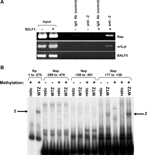 Z binds to the Na promoter, and binding is enhanced by Nap methylation.(A) Latently infected EBV+ 293 Z-KO cells were transfected with a BZLF1 expression vector (+) or an empty vector control (−). Chromatin immunoprecipitation assay was performed 20 hours after transfection using anti-Z and control goat IgG antibodies as indicated to examine Z binding to the Na promoter (Nap), ZREs within the EBV oriLyt (positive control) and EBV sequences in the 3′ end of the EBV BALF5 gene (negative control). (B) The ability of in vitro translated Z to bind to 32P end-labeled probes (in either the methylated, or unmethylated forms) containing the BRRF1 promoter (Nap) sequences from −280 to −470, −108 to −301, and +77 to −128 (relative to the BRRF1 mRNA start site) was examined by EMSA. A probe containing the BRLF1 promoter (Rp) sequences from −1 to −270 (in the methylated form) served as a positive control.