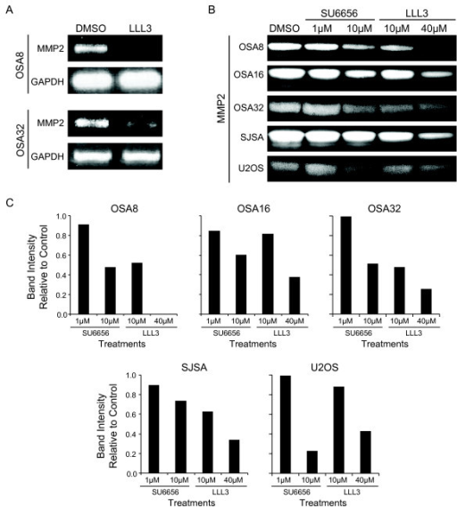 Downregulation of Src or STAT3 leads to loss of MMP2 expression in OSA cells. A) Canine OSA cell lines OSA8 and OSA 32 were treated with DMSO or LLL3 (40 uM), for 72 hours. RNA was collected and RT-PCR was performed for MMP2 and GAPDH. B) Canine and human OSA cell lines were treated with DMSO, SU6656, or LLL3 for 72 hours. Media was collected and MMP2 was assessed via gel zymography. C) Gel zymography images were evaluated by densitometry using NIH Image J.