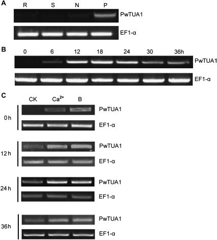 Expression of PwTUA1 in different tissues of Picea wilsonii. (A) Tissue-specific expression of PwTUA1 in P. wilsonii. Total RNA was isolated from needles (N), stems (S), roots (R), and pollen (P) (incubated for 0, 6, 12, 18, and 24 h). (B) Expression of PwTUA1 in pollen at different growth stages. (C) PwTUA1 gene expression induced by 0.1% (w/v) Ca2+ and 0.1% (w/v) H3BO3 at different time points.