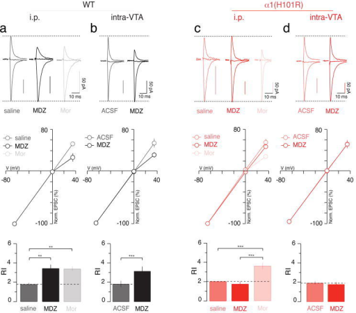 BDZ-evoked synaptic plasticity is abolished in α1(H101R) mutant micea, Top panel; normalized AMPAR-EPSCs obtained at -65, 0 and +35 mV in slices from WT mice i.p. injected with saline, MDZ (0.5 mg/kg) or Mor (15 mg/kg) 24 h prior to sacrifice. Middle panel; corresponding iv-curves. Bottom panel; bar graphs represent group data for the RI. F(2;21) = 9.08. b, AMPAR-EPSCs, iv-curves and RI (top, middle and bottom panel, respectively) observed when ACSF or MDZ were injected into the VTA in WT mice. t(11) = 5.43. c, Similar experiments performed with α1(H101R) mice. Note that Mor induces a rectification that is similar in WT and mutant mice. F(2;16) = 17.88. d, Similar experiments performed with α1(H101R) mice when MDZ was injected intra-VTA. n = 6-10.