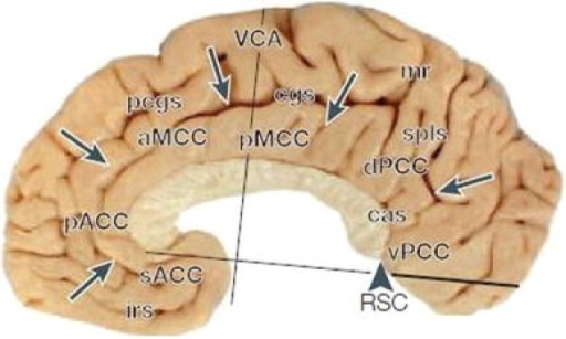 Subdivisions of cingulate cortex according to the four- | Open-i