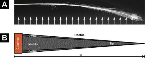 (A) The tail cover feather of Pavo cristatus sub. alba subjected to X-ray investigation. The arrows indicate approximately the multiple beam positions. (B) Sketch of the conical shape of the rachis. Both outer diameter and cortex thickness decrease linearly from the calamus to the tip, forming a self-similar cone filled by the medulla. Diffraction patterns were taken from the cortex only.