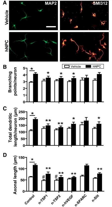 Identification of secreted factors mediating neurite plasticity in vitro. (A) Representative images of cortical neurons stained for microtubule-associated protein 2 (MAP2, labels dendrites) and SMI312 (labels axons) co-cultured without (vehicle) and with human NPCs. Scale = 50 µm. (B–D) Human NPCs significantly promoted dendritic branching (B), total dendritic length (C) and axonal outgrowth (D) of the cortical neurons; *P < 0.05 'control human NPC' compared with 'control vehicle'. Neutralization of the secreted factors with antibodies or the soluble slit receptor Roundabout-Fc significantly reduced the effects of human NPCs on these parameters as indicated. *P < 0.05, **P < 0.01 compared with 'control human NPC'; #P < 0.05 compared with 'control vehicle'. TSP = thrombospondins.