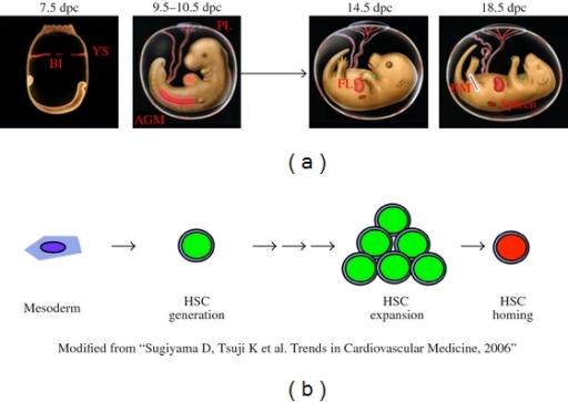 Schema of hematopoietic development during mouse embryo ...  Schema of hemat...