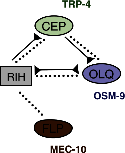 The C. elegans Nose Touch Hub-and-Spoke CircuitThe nose touch circuit consists of three spoke sensory neuron classes (FLP, OLQ, and CEP) and a hub interneuron (RIH). Distinct proteins required for mechanosensation in each spoke are indicated. Dotted lines represent gap junctions; continuous lines represent chemical synapses.