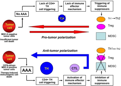 The key actions for establishing a protective anti-tumor immunity against cancer. The immune response against cancer is put on break by several mechanisms among which tumor antigen availability and stimulation of MHC class II-restricted CD4+ TH cells are key features (upper part of the Figure). Insufficient tumor antigen availability and/or insufficient MHC-II–tumor peptide complexes (cumulatively defined as adequate antigen availability or AAA) lead to insufficient stimulation of TH cells. This results in lack of immune effector responses which may favor the establishment of immune suppressor mechanism on anti-tumor responses, such as polarization of TH responses toward a TH2 phenotype, activation and increase number of regulatory T cells (Treg) and myeloid-derived-suppressor cells (MDSC), which cumulatively create a pro-tumor polarization of the tumor microenvironment. Presence of AAA (lower part of the Figure) generated, for example, by MHC class II expression in tumor cells or by therapy-induced immunogenic cell death efficiently triggers tumor specific TH cells and this is instrumental to both activate immune effector mechanisms such as CTL and repress and/or prevent suppressor mechanisms on protective immunity. This results in the generation of an anti-tumor microenvironment and in a strong adaptive immune response against the tumor.