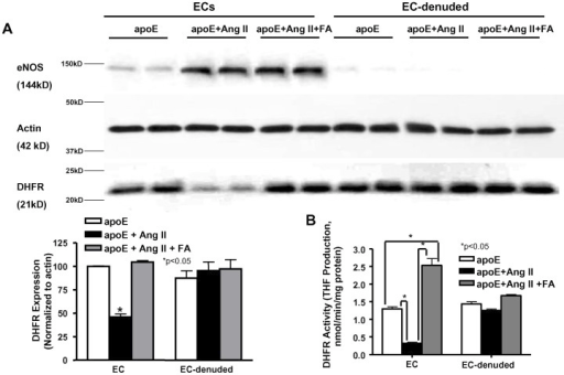 Folic acid treatment restores endothelial specific DHFR expression and activity in Ang II-infused apoE  mice.DHFR expression (A, n = 8–11) and activity (B, n = 5–7) measured from endothelial cells (ECs) and EC-denuded aortas isolated from apoE  mice after 4 weeks of infusion. Data show that DHFR expression and activity was restored in FA treated animals specifically in the endothelial cells. eNOS was stained to show that isolation/removal of ECs from the vessels was successful. *p<0.05.