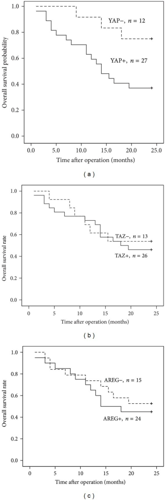 Kaplan-Meier analysis of overall survival (cumulative survival) of HCC patients relative to YAP, TAZ, and AREG expression. (a) Correlation of YAP expression with overall survival of HCC patients; (b) correlation of TAZ expression with overall survival of HCC patients; (c) correlation of AREG expression with overall survival of HCC patients.