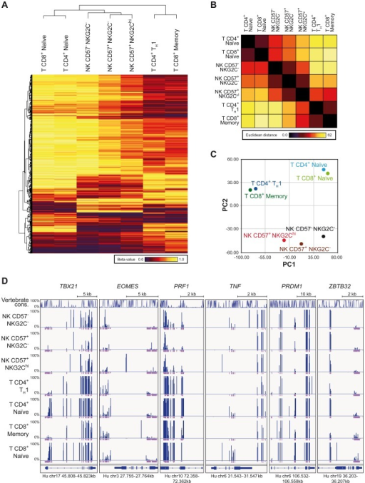 RRBS-based global methylation analysis of NK cell and T cell subsets.Genomic DNA of ex vivo FACS sorted NK and T cell subsets was analyzed for CpG methylation by RRBS. (A–C) Beta-values for each methylation site identified by RRBS were averaged from two donors for each T or NK cell subset as indicated. Sites with coverages below 5 were removed from further analysis. (A) Clustering analysis of differentially methylated CpG sites found by RRBS. Clustering was performed on 1,000 most variant methylation sites out of 30,000 randomly chosen sites, localized within gene bodies and promoter regions. The indicated cell subsets cluster according to the similarities of their methylation profile. Beta-values depicted from dark-red to yellow represent level of methylation of the individual CpG sites. (B) Similarities between the cell subsets as judged by the Euclidian distance. (C) Principle component analysis (PCA) of mean methylation levels from two donors for indicated cell subsets. The PCA revealed a clear separation of CD4+ TH1 and CD8+ memory cells, naïve CD4+ and CD8+ cells, and NK cells by the first two components. (D) CpG methylation sites of T and NK cell subsets of one representative donor identified by RRBS in gene bodies of TXB21, EOMES, PRF1, TNF, PRDM1 and ZBTB32. Line diagram represents sequence conservation within vertebrates. Blue and violet bars indicate the methylation level (0–100%) and coverage for each identification, respectively. Coverages of 5 and more reads are represented as a full violet bar.
