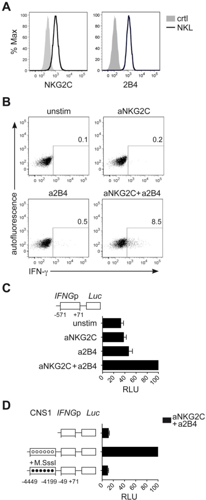 CNS1 accessibility regulates IFNG transcriptional activity induced by NKG2C engagement.(A) Surface expression of NKG2C and 2B4 on NKL (black line) or isotype control (solid grey histogram) was determined by FC. (B) Intracellular expression of IFN-γ by NKL was detected by FC after crosslinking of NKG2C and/or 2B4 for 16 hours. One representative experiment out of four is depicted. (C and D) Luciferase reporter assay of IFNG sequences transfected in NKL. (C) Construct containing the IFNG promoter (IFNGp) region was cloned into the Luciferase reporter vector pGL3 upstream of the Firefly luciferase gene (Luc). pGL3 reporter vectors were transfected into NKL cells along with Renilla reporter vector pRL-TK as internal control and luciferase activity was measured after stimulation of NKL, as indicated. Relative luciferase units (RLU) were calculated in relation to the activity of the IFNGp (−571 to +71) stimulated with aNKG2C+a2B4, after normalization to Renilla luciferase and basic pGL3 activity. Mean RLU ± SEM (n = 3) are depicted. (D) Constructs containing the IFNGp (−49 to +71) region with or without the CNS1 were cloned into the CpG-free vector pCpGL. Luciferase activity of untreated (unmethylated, open circles) and of CpG-methyltransferase (M.SssI)-treated vectors (methylated, black circles) was measured after transfection into NKL cells. RLU were calculated relative to the activity displayed by the unmethylated CNS1+IFNGp (−49 to +71) vector stimulated with aNKG2C+a2B4, after normalization to Renilla luciferase and basic pCpGL activity. One representative experiment out of three is depicted.
