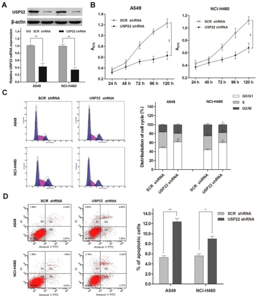 USP22 silencing suppresses proliferation and induces apoptosis and cell cycle arrest in NSCLC cells. (A) USP22 mRNA and protein expressions in A549 and NCl-H460 cells transfected with USP22 shRNA or scrambled control shRNA (SCR shRNA) (n = 3); (B) cell proliferation in transfected A549 and NCl-H460 cells by the MTT assay (n = 3); (C) cell cycle distribution by flow cytometry with PI staining (n = 3). Histograms are representative of three independent experiments; (D) Cell apoptosis by flow cytometry with Annexin V-FITC and PI double staining (n = 3). The values of the Q2 plus Q4 quadrant represent apoptosis rates. Data are expressed as the means ± SD. *p < 0.05 vs. SCR shRNA, **p < 0.01 vs. SCR shRNA.
