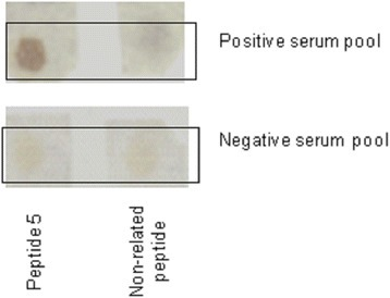 Reactivity of peptide selected by phage display on a SPOT membrane. Membrane containing Peptide 5 sequence was incubated with positive and negative canine serum pool at a dilution 1:100. Assay employing non-related peptide was used as reaction control. Reaction was detected using peroxidase conjugated anti-dog antibody (1:5000).