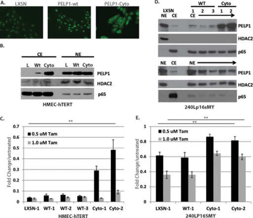 Cytoplasmic PELP1 protects HMECs from Tam-induced cell death, independent of Akt and Erk1/2.A, Immunofluorescence of HMEC-hTERT cells stably expressing vector control (pLXSN), PELP1-wild type (wt), or PELP1-cyto. HMEC-hTERT (B) and 240Lp16sMY (D) cell lines stably expressing vector control (pLXSN), PELP1-wild-type (wt), or PELP1-cyto were examined by Western blotting of nuclear (NE) and cytoplasmic (CE) fractions with antibodies against PELP1, HDAC2, and p65., MTT assay of HMEC-hTERT (C) and 240Lp16sMY (E) cell lines expressing pLXSN, PELP1-wt, or PELP1-cyto were treated with 0.5 or 1.0 μM Tam for 3 days. One-way ANOVA was performed to test for statistical differences between cell lines treated with 0.5 μM Tam (HMEC-hTERT) and 0.5 μM and 1.0 μM Tam (240Lp16sMY). ** indicates p < 0.0001.