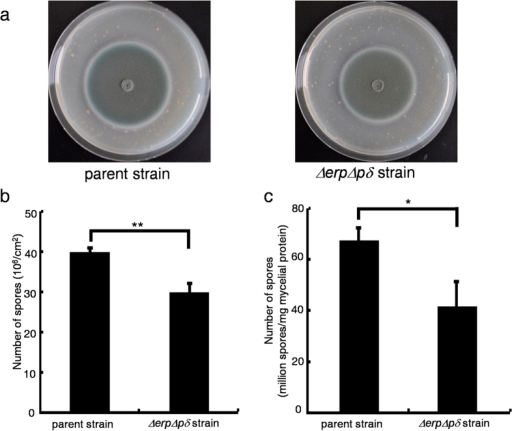 Comparison of the Sporulation Efficiencies of the Parent and ΔerpΔpδ Strains.*P < 0.05, **P < 0.01. Panel a, phenotypic analysis of the parent and ΔerpΔpδ strains on wheat bran plates. Panel b, the number of spores produced per square centimetre on wheat bran plates. Panel c, the number of spores produced per milligram of mycelial protein in submerged cultivation. Error bars indicate the standard deviation calculated from three biological experiments.
