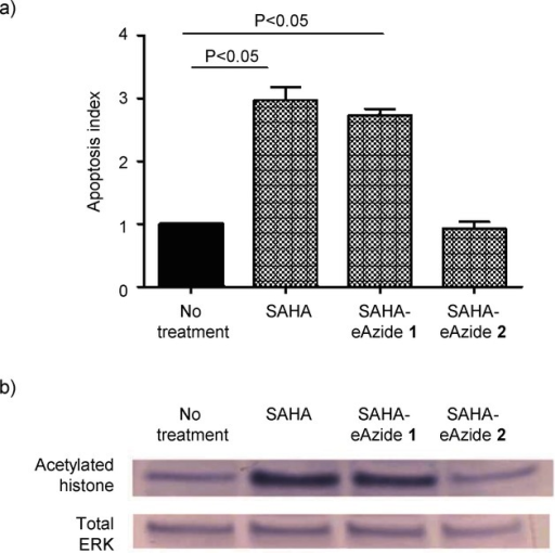 Biological evaluation of linker-modified SAHA. a) Apoptosis index demonstrating apoptosis induction with free SAHA and the ester-modified SAHA. The amide-modified SAHA did not demonstrate any evidence of apoptosis at the time points and concentrations tested. KB cells were incubated with 100 nm of the linker-modified SAHA compounds and free SAHA for 24 h. Values represent the mean ± S.E.M. for n=3 independent experiments. b) Protein immunoblots demonstrate that both free SAHA and eSAHA induce hyperacetylation of histones consistent with their known epigenetic mechanism of action. In agreement with the apoptosis data, the amide-modified SAHA compound did not demonstrate any hyperacetylation of histones. KB cells were incubated with 10 μm of the SAHA compounds 2 h and cell lysates were collected. Total ERK was used as the protein loading control.