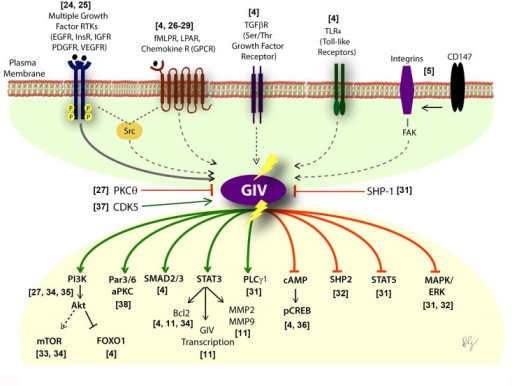 "Activation of G proteins by GIV-GEF modulates multi-receptor signaling and broadly impacts the downstream signaling networkSchematic showing the diverse classes of receptors (upper half) which sense a variety of chemical signals, that converge on GIV. Lower part shows the consequence of non-canonical transactivation of G proteins by GIV (when GIV-GEF is functionally intact or turned ""ON"") on the multitude of downstream pathways within the signaling network. Green = enhancement; Red = suppression. Shown in the middle are three known ways to either inhibit (PKCθ selectively phosphoinhibits GIV-GEF [27]; SHP-1 dephosphorylates tyrosine-phosphorylated GIV [30]) or activate (CDK5 phosphoactivates GIV-GEF [37]) GIV-dependent signaling."