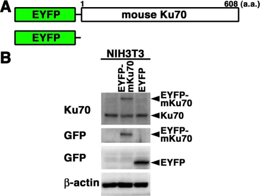 Expression of EYFP-mouse Ku70 in mouse cells. (A) Schematics of EYFP-mouse Ku70chimeric protein (EYFP-mouse Ku70) and control protein (EYFP). (B) Extracts from mouse(NIH3T3) cells transiently expressing the EYFP-mouse Ku70 or EYFP prepared andsubjected to Western blotting using the anti-Ku70, anti-GFP or anti-β-actinantibody.