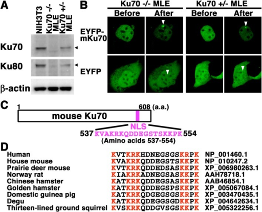 EYFP-mouse Ku70 accumulated rapidly at DSBs induced by laser microirradiation inmouse lung epithelial cell lines. (A) Expression of Ku70 and Ku80 in total celllysates from NIH3T3, Ku70 +/– MLE and Ku70 –/– MLE cells. Total cell lysates from thetwo lung epithelial cell lines and the NIH3T3 cell line were analyzed by Westernblotting using the anti-Ku70, anti-Ku80 or anti-β-actin antibody. (B) Imaging ofliving EYFP-mouse Ku70- or EYFP-transfected mouse lung epithelial cells before andafter microirradiation. Arrowheads indicate the microirradiated sites. (C) NLS ofmouse Ku70 (amino acids 537–554). (D) Alignment of the primary sequence among humanand rodent homologous Ku70 proteins. The basic (red) or nonbasic residues (black) areindicated in different colors for comparison. The GeneBank accession number for eachsequence is indicated.