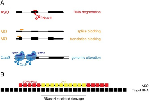 Overview of knockdown and loss-of-function technologies in zebrafish.A) Antisense oligos (ASOs, red) degrade target RNA, morpholinos (MOs, orange) either block splicing or inhibit translation, and Cas9-sgRNA complexes (blue) create double-strand breaks in DNA leading to genomic alterations. B) ASOs are RNA-DNA hybrid oligonucleotides containing 10 central DNA nucleotides flanked by 5 2'O-Methyl (2'OMe) modified RNA nucleotides on either side (5-10-5 arrangement). Individual nucleotides in the ASO are linked by phosphorothioate bonds to increase stability.