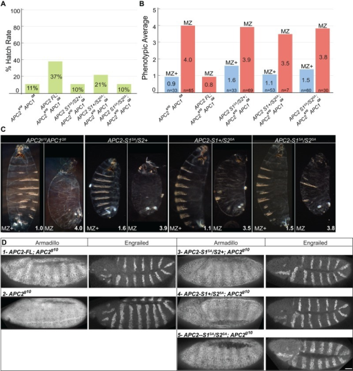 Phosphorylation of both SAMP1 and SAMP2 plays important roles in destructosome activity in the Drosophila embryo. (A, B) Hatch rate and cuticle analysis of APC2 APC1 double- (APC2g10APC1Q8) embryos with transgenes expressing APC2-FL and SAMP phosphomutants. (B, C) The cuticle phenotypes of embryos that failed to hatch were assessed, and the phenotypic average (PA) was calculated for mutant embryos. Cuticles were classified as either MZ+ (maternally mutant but zygotically rescued) or MZ (maternally and zygotically mutant). Cuticle images are shown at the same scale. (D) In the single–APC2  mutant, only APC2-S1SA/S2SA appears to have reduced function based on the accumulation of Arm and the expression domain of En. Scale bar, 25 μm.