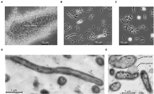 Cell morphology of strain ACht6-1 grown on amorphous chitin at pH 10 and 0.6 M Na+. Phase contrast microphotographs showing ACht6-1 cells bound to a chitin particle (A) and initial (B) and final (C) stages of the lipid cyst formation in free cells. Thin section electron microscopy showing ultrastructural organization of cells of strain ACht6-1 growing on chitin: actively growing cells from the exponential phase (D) and cells from the stationary phase full of PHA lipid storage (E). The image in panel C was modified from Figure 5 in Sorokin et al. (2012).