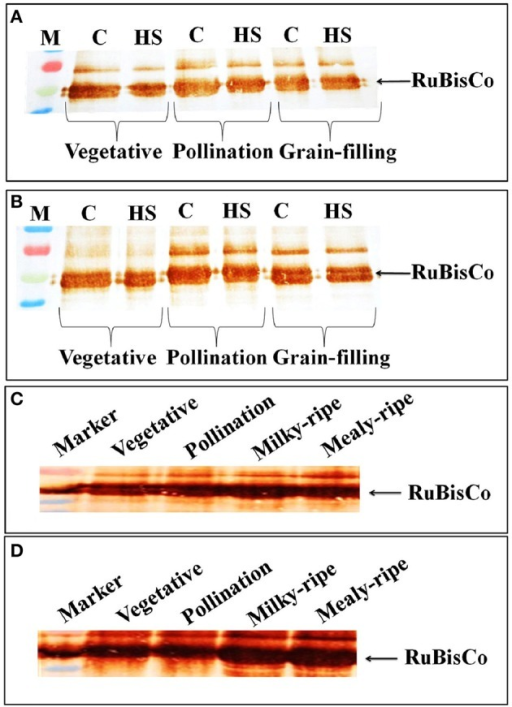 Accumulation pattern of RuBisCo in wheat at different stages of growth and under heat stress. (A) RuBisCo accumulation in HD2329 under control and HS, (B) RuBisCo accumulation in HD2985 under control and HS, (C) RuBisCo accumulation in HD2985 at different stages of growth, (D) RuBisCo accumulation in HD2329 at different stages of growth; C −22 ± 3°, heat stress −42°C for 2 h; Polyclonal antibody (anti-RuBisCo) was used along with HRP-conjugated secondary antibody; different letters above each bar indicate a significant difference (p < 0.05) between the treatments (one-way ANOVA); vertical bars indicate SE (n = 3).