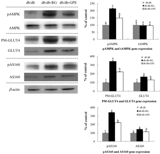 Effect of G. procumbens extract (GPE) supplementation on PM-GLUT4, pAMPK, and pAS160 expression in the skeletal muscle.Western blotting and signal intensities were determined by densitometric analysis using Multi Gauge V3.1 software. Representative blots of PM-GLUT4, pAMPK, and pAS160 protein expression are shown with protein expression levels quantified relative to the expression level observed in samples from db/db-control mice. Each value is expressed as mean ± SD of experiments performed in triplicate. a-c Values denoted by different letters are significantly different (P < 0.05), as analyzed by Duncan's multiple range test. PM-GLUT4: plasma membrane-glucose transporter type 4, pAMPK: phosphorylated AMP-activated protein kinase, pAS160: phosphorylated Akt substrate of 160 kDa.