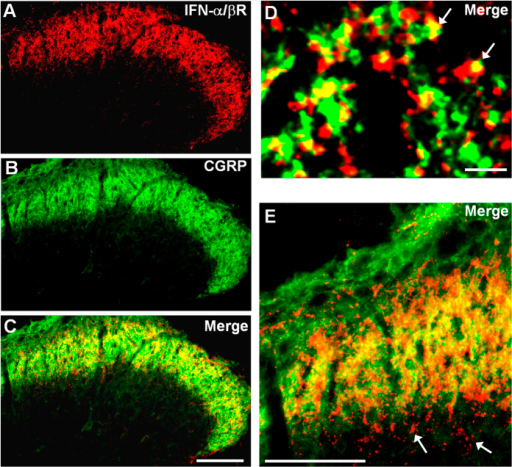 Expression of IFN-α receptors in the spinal cord dorsal horn.(A–C) Double staining of Type I-IFN receptor (IFN-α/βR) and CGRP in the superficial dorsal horn. Scale, 100 μm. (D,E) High magnification images showing colocalization of IFN-α/βR and CGRP in primary afferent terminals in the superficial dorsal horn (laminae I-IIo). Arrows in (D) indicate double-labeled terminals. Arrows in E show IFN-α/βR labeling in inner lamina II (IIi). Scales, 3 μm (D) and 100 μm (E).