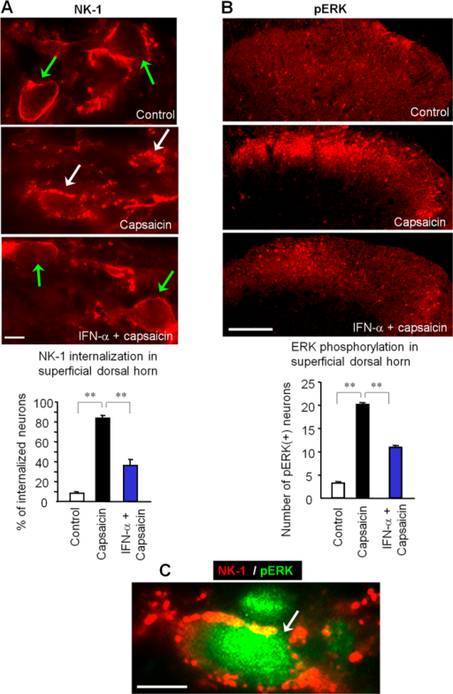 IFN-α inhibits nociceptive signal transduction in the spinal cord.(A) Intraplantar capsaicin (75 μg, 5 min) induces NK-1 internalization in superficial dorsal horn neurons, which is suppressed by IFN-α (i.t., 100 ng). Green and white arrows indicate surface-expressed and internalized NK-1 receptors, respectively. Scales, 10 μm. Low panel, Percentage of NK-1-positive neurons with receptor internalization in laminae I-II. **P < 0.01, one-way ANOVA, n = 4 rats/group. Scale, 10 μm. (B) Bath application of capsaicin (3 mM, 5 min) to spinal cord slices induces robust ERK phosphorylation (pERK), which is abolished by IFN-α (2.5 ng/ml). Scale, 100 μm. Low panel, number of pERK (+) neurons in superficial dorsal horn. **P < 0.01, one-way ANOVA, n = 4 slices from separate rats. (C) Double staining of NK-1 and pERK shows co-localization in a lamina I neuron following intraplantar capsaicin (75 μg, 5 min). Scale, 100 μm. All data were mean ± S.E.M.
