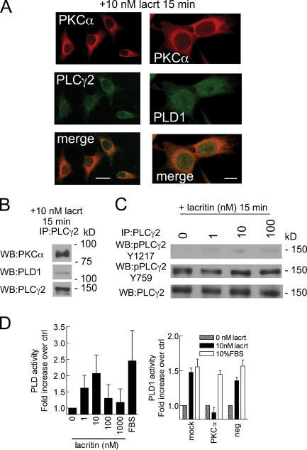 Translocated PKCγ becomes associated with PLCα2 and activates PLD1. (A) Perinuclear colocalization of PKCα with PLCγ2; and PKC with PLD1 15 min after lacritin addition. Bars, 25 μm (left) and 10 μm (right). (B) Anti-PLCγ2 immunoprecipitate of homogenate from cells treated for 15 min with lacritin contains PKCα and PLD1. (C) Lacritin dose– response analysis of PLCγ2 phosphorylation in anti-PLCγ2 immunoprecipitates of homogenate from 15-min–treated cells. (D) Lacritin addition promotes activation of PLD in a biphasic dose-dependent manner. Activation is abrogated by knockdown of PKCα using siRNA D7, which has little or no effect on FBS-stimulated PLD activation. Data are presented as the mean ± the SEM.